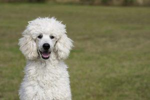 アメリカ 人気 犬種